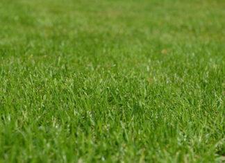 Zielony dywan, jak dbać aby był gęsty i piękny